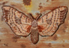 <strong>Poplar Hawk-moth</strong>, a detail 2013<br /> <em>Size:</em> 11,8 x 20 x 1,3 cm<br /> <em>Technique:</em> hand embroidery, mixed media<br />	 <em>Material:</em> silk threads, tin
